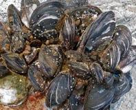 musslor 1 Arkivfoto