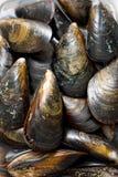 musslor Arkivfoto