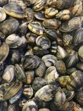 Musslor i fiskmarknad Royaltyfri Foto