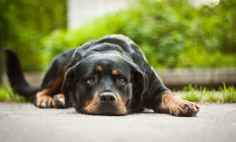 Must go!. Rotweiller Bessy must go home. She is hungry.  She live in Prague.  Bessy have red eyes Royalty Free Stock Image