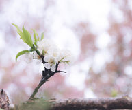 It must take time...to bloom. Bloomed Chinese plum growth and background of bokeh Stock Photo