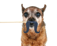 Mustache chihuahua Royalty Free Stock Image
