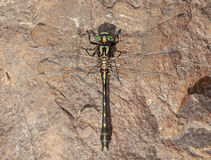 Mustached Clubtail Royalty Free Stock Photos