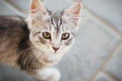 Mustachioed котенок Стоковые Изображения RF