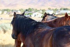 Mustang americani selvaggi nell'area di Nevada Virginia Ranges Immagini Stock Libere da Diritti
