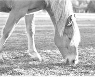 Mustang black and white grazing Stock Images