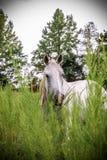 Mustang branco imagem de stock royalty free