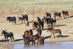 Mustang che vanno in giro in un foro di acqua Fotografia Stock