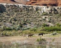 Mustang da montanha de Pryor Imagens de Stock Royalty Free