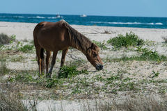 Mustang de Shackleford Imagem de Stock Royalty Free