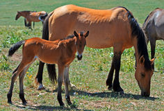 Mustang do potro do bebê com o cavalo selvagem da mãe/égua Fotografia de Stock Royalty Free