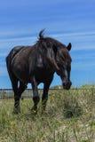 Mustang espagnol Images libres de droits