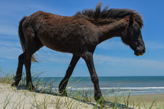 Mustang espagnol Photos stock
