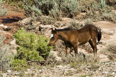 Mustang Foal. Free roaming mustang foal in the Pryor Mountain wild horse range in Wyoming Stock Photo