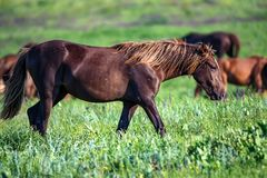 Wild foal and mare horses grazing on summer meadow Stock Image