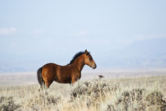 Mustang and friend. Free roaming mustangs on the McCullough Peak Wild Horse Management Area in Wyoming Royalty Free Stock Image