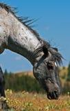 Mustang Gray Grulla Roan Stud Stallion del cavallo selvaggio nel Pryor m. immagine stock