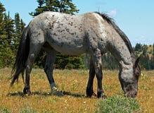 Mustang Gray Grulla Roan Stud Stallion del cavallo selvaggio nelle montagne di Pryor fotografia stock