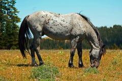 Mustang Gray Grulla Roan Stud Stallion del cavallo selvaggio nelle montagne di Pryor nel Wyoming/Montana fotografia stock libera da diritti