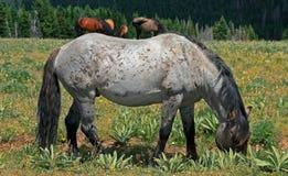 Mustang Gray Grulla Roan Stud Stallion del cavallo selvaggio nelle montagne di Pryor nel Wyoming/Montana immagini stock