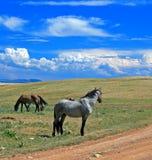 Mustang Gray Grulla Roan Stud Stallion del cavallo selvaggio nelle montagne di Pryor nel Wyoming/Montana fotografia stock