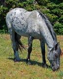 Mustang Gray Grulla Roan Stud Stallion del cavallo selvaggio in TA di Pryor Mtns immagine stock libera da diritti