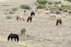 A Mustang Herd, Known as Wild or Feral Horses Royalty Free Stock Photography