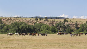 Mustang herd. On the open prairie Stock Photos