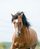 Mustang horse Stock Photography