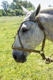 Mustang horse head Stock Photos
