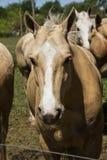 Mustang horse head Stock Photo