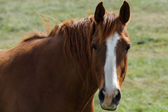 Mustang horse portrait Stock Photography