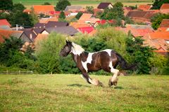 Mustang horse running at the mountain farm stock image