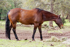 Mustang horse eating grass Royalty Free Stock Images