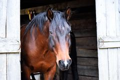 Mustang Horse in Wooden Barn stock photo
