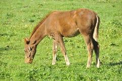 Mustang horse Royalty Free Stock Photo