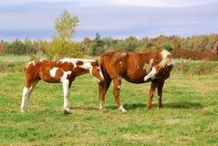 Mustang horse Royalty Free Stock Photos