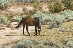 Mustang mare. Free roaming mustang mare in the Pryor Mountain wild horse range in Wyoming Stock Photos