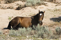 Mustang mare. Free roaming mustang mare in the Pryor Mountain wild horse range in Wyoming Royalty Free Stock Photo