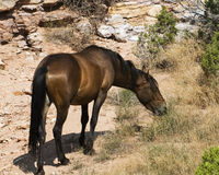 Mustang mare. Free roaming mustang mare in the Pryor Mountain wild horse range in Wyoming Stock Images