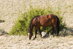 Mustang mare. Free roaming mustang mare in the Pryor Mountain wild horse range in Wyoming Stock Photo