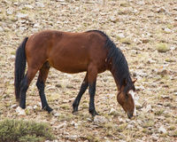 Mustang mare. Free roaming mustang mare in the Pryor Mountain wild horse range in Wyoming Royalty Free Stock Image