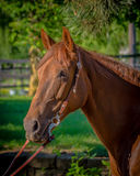 Mustang Mare. A beautiful red chestnut Mustang mare stock images
