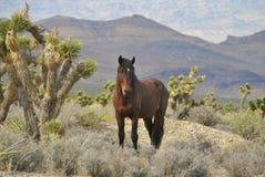 Mustang sauvage Photo stock