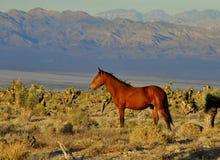 Mustang sauvage Photos libres de droits