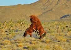 Mustang sauvage Images libres de droits