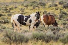 Mustang selvaggi nel Wyoming immagine stock libera da diritti
