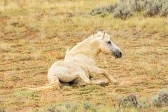 Mustang selvaggio del Wyoming Fotografie Stock Libere da Diritti