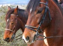Mustang spagnolo Fotografia Stock Libera da Diritti
