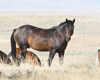Mustang Stallion. Free roaming mustangs on the McCullough Peak Wild Horse Management Area in Wyoming Stock Image